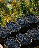 Syrah-Trauben nach der Lese, Cote Rotie bei Ampuis, Rhone