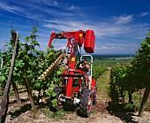 Maschinelles Aufbinden der wachsenden Reben,Dambach im Elsass