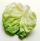 A Leaf of Cabbage