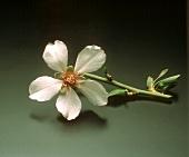 A Piece of an Almond Tree