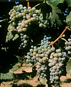 Semillon grapes, here in Yakima Valley, tend to rot nobly