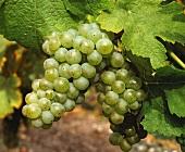 Sauvignon,auch außerhalb Europas wachsend beliebte Weintraube