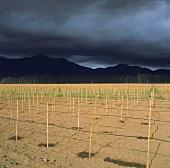 Tropfbewässerung im neuen Weinberg des Casablanca-Tals, Chile