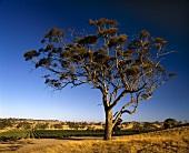Alter Baum im Weinberg Mount Edelstone,Eden Valley,Australien