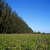 Weingarten am Pappelhain in Lujan de Cuyo,Mendoza,Argentinien