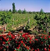 Rosen am Weinberg von Gut Trapiche in Mendoza, Argentinien