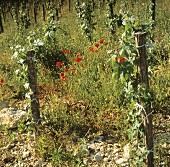 Organic weed-control: Mas de Daumas Gassac Estate, Midi