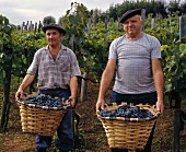 Grape picking, St. Etienne-de-Baigorry in Basque region, France