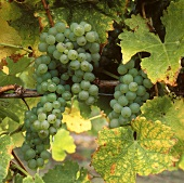 Sauvignon Blanc - grown in almost all wine-producing countries