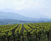 Weinberg nahe Penne, DOC Montepulciano d'Abruzzo, Abruzzen