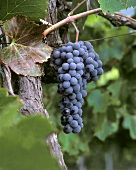 Nebbiolo grapes on the vine in Piedmont, Italy