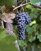 Nebbiolo-Traube an der Rebe im Piemont, Italien