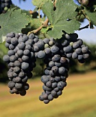 2 bunches of ripe Cabernet Sauvignon grapes on vine, Australia
