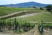 Vineyard outside small town of Montalcino in Tuscany