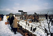 Vintage of Vidal grapes for ice wine, Niagara, Ontario, Canada