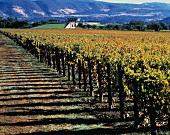 Vineyard on Opus One estate, Oakville, Napa Valley, California
