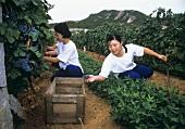 Lese von Cabernet Sauvignon Trauben, Weingut Huadong, China