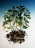 Potato Plants with Roots and Potatoes