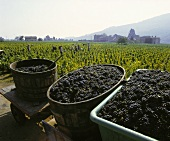 Freshly picked Gamay grapes in the Beaujolais region, Burgundy