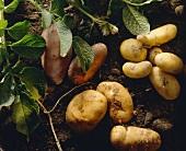 Assorted Potato Still Life