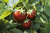 Three Strawberries Growing on a Strawberry Plant