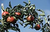 Rote Äpfel am Baum, Hintergrund: blauer Himmel