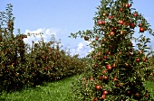 Apple Orchard; Fuji Apples