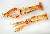 Two Norway Lobsters
