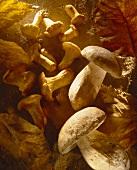 Still Life of Many Assorted Mushrooms