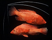 Two Red Coral Grouper