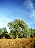 An Olive Grove in Greece