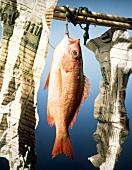 Ein Fisch (Red Snapper) hängt an Stange mit Zeitungpapier