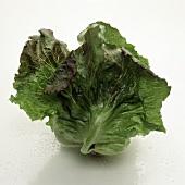 A head of batavia lettuce