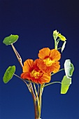 Nasturtiums with flowers against blue backdrop