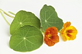Nasturtium leaves and two flowers