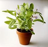 Flowering sage in pot