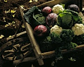 Various types of cabbage in wheelbarrow