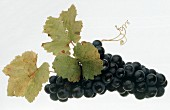 A bunch of red wine grapes with leaves