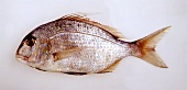 A southern seabream