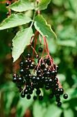 Elderberries on the bush