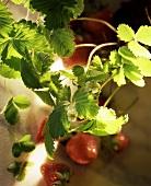 Strawberry plant: flowers, leaves & strawberries