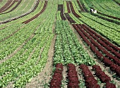 Lettuce field with Lollo rosso and green lettuce