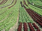Salatfeld mit Lollo rosso & grünem Salat