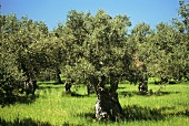 Olive Tree in an Olive Grove