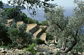 Beautiful Olive Grove
