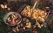 Bowl of mixed mushrooms, basket of chanterelles on moss