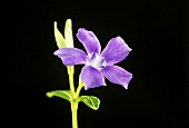 Lesser periwinkle flower (Vinca minor), black background