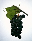 Bunch of Purple Grapes on the Vine