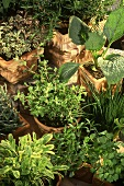 Herb garden: flower pots and boxes of fresh herbs
