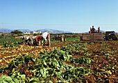 Field workers picking potatoes; Majorca; Spain